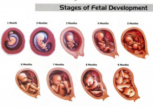 Depiction of a fetus from 1 month through 9 months of gestation